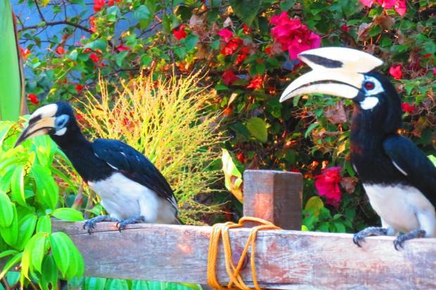 hornbill feeding