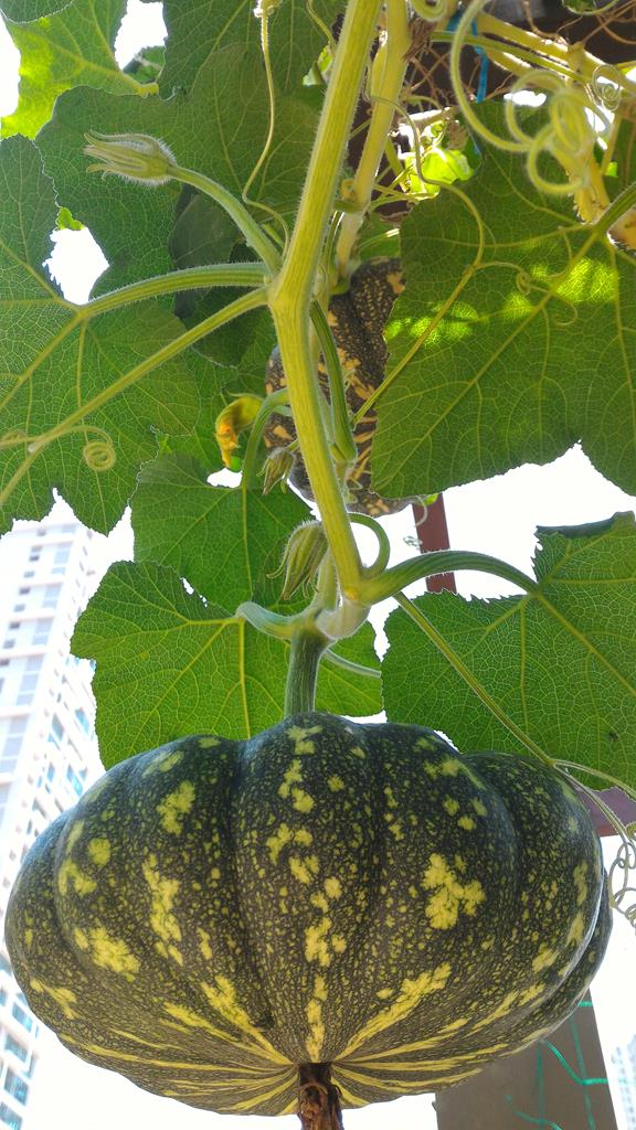 pumpkins growing towards full size