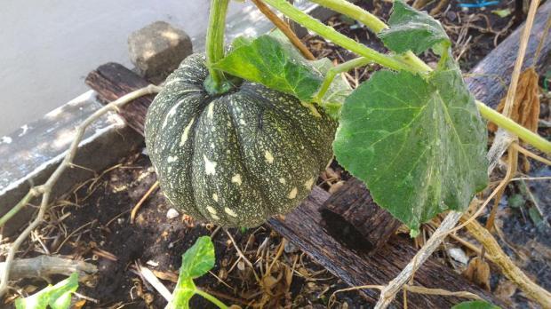 another type of pumpkin