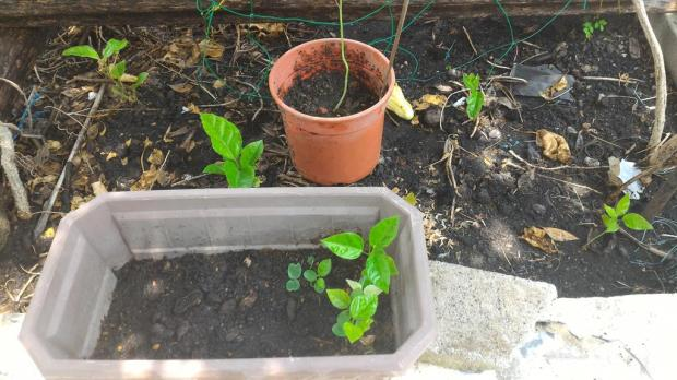 passionfruit seedlings - some had come from compost, and the ones in the brown pot from germinating seeds