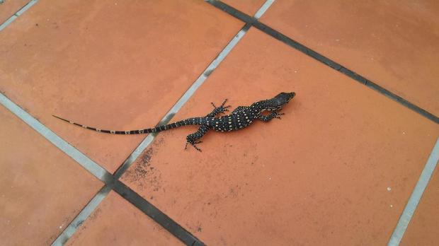 "6"" long lizard spotted"