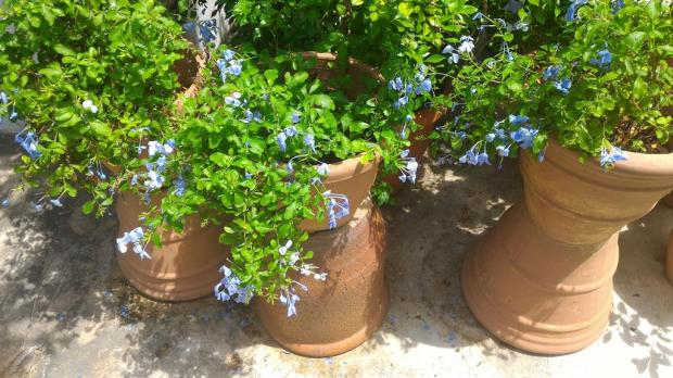plumbago sometimes dies off a bit, but after pruning comes back