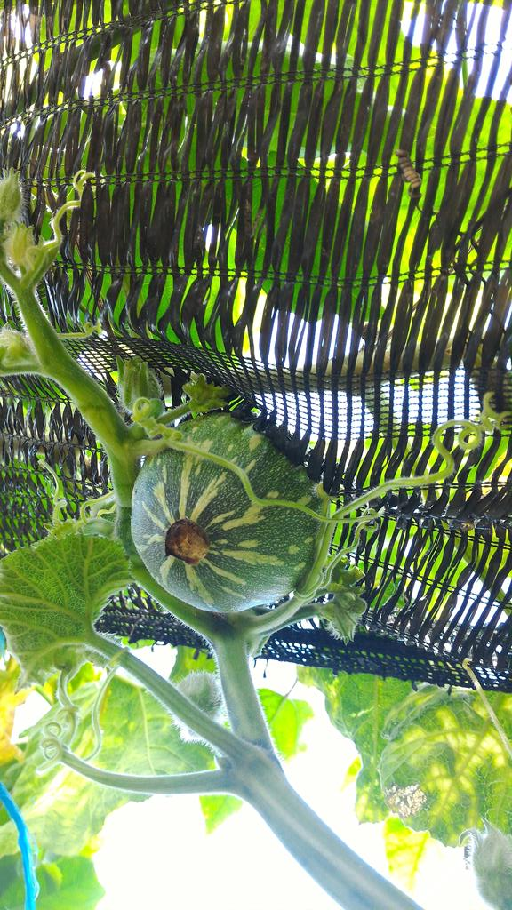first full size pumpkins growing