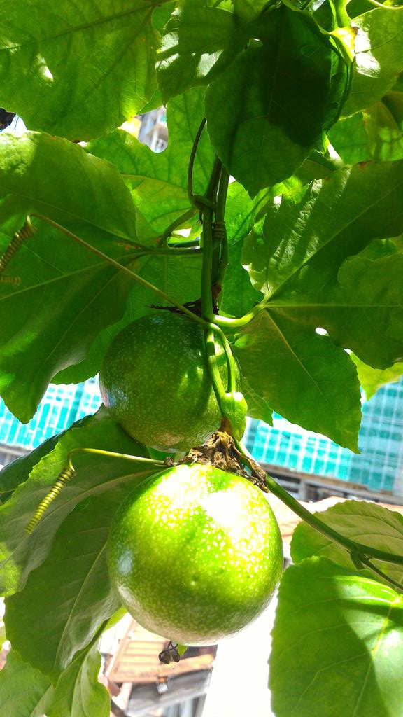 many passion fruit are growing