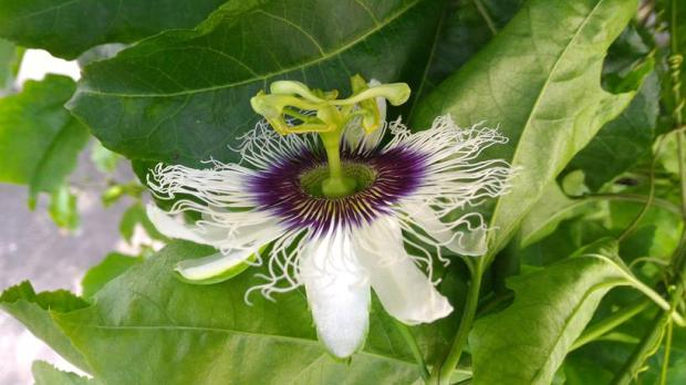 after rain passion fruit often flowers