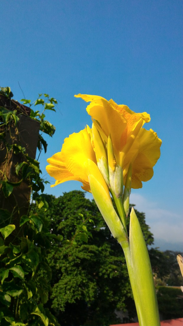 Canna Lily flowering