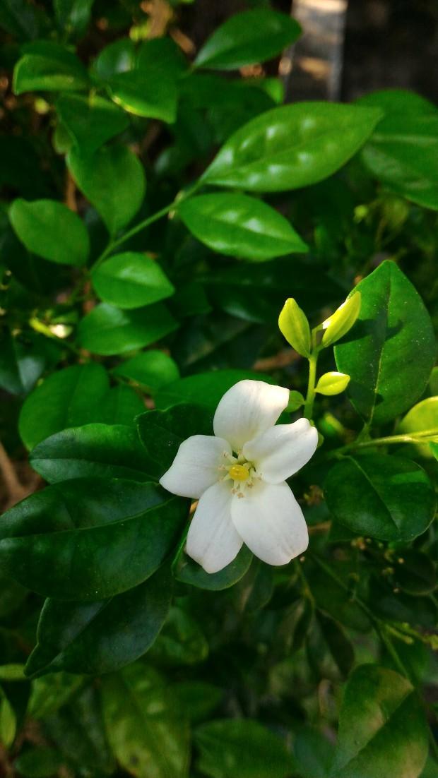 mockie flower