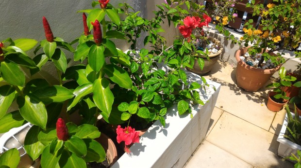 hibiscus and bougainvillea in the sun