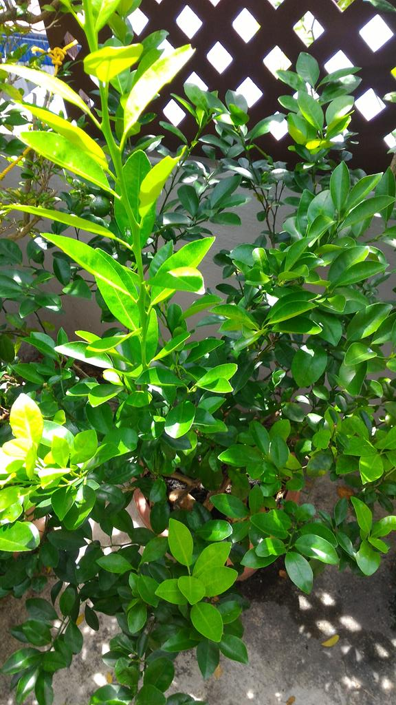 lime tree has new growth