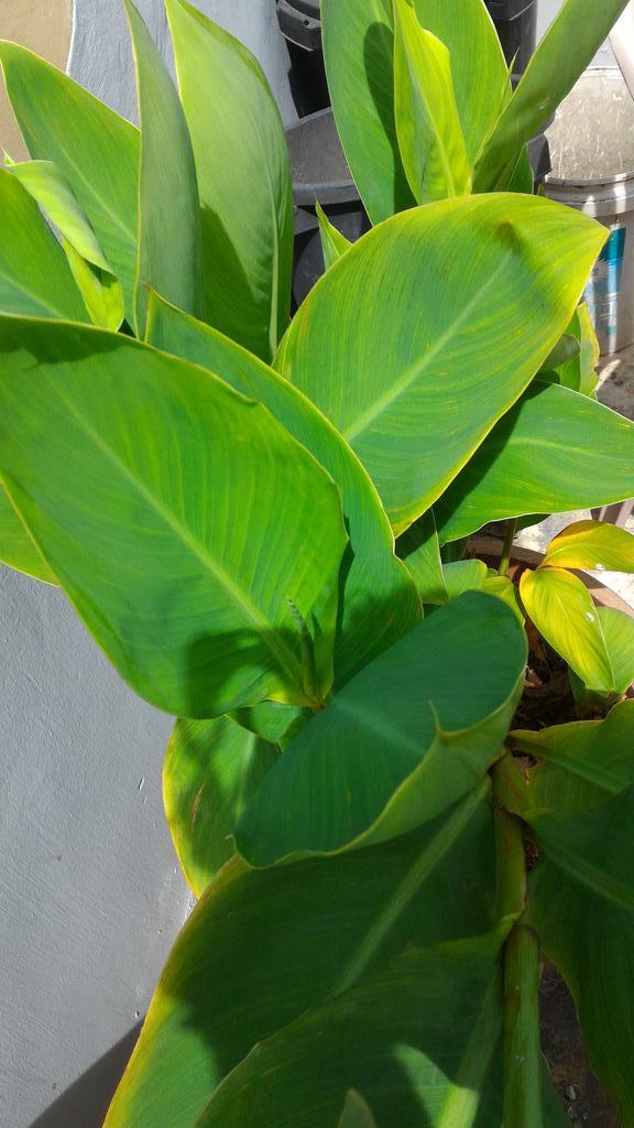 Canna Lilies keep on growing