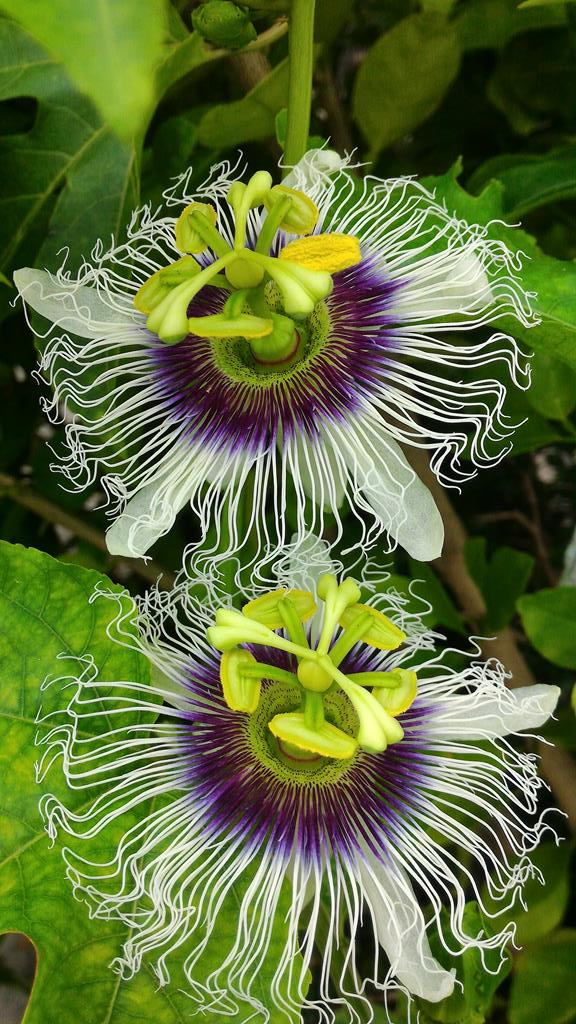 passionfruit still flowering