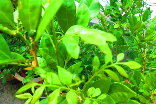 mock orange sprouting tiny leaves