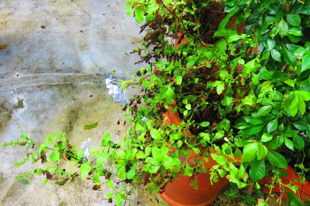 plumbago doesn;t seem all that happy with so much rain