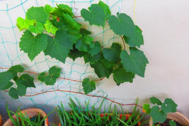 and grape vine growing