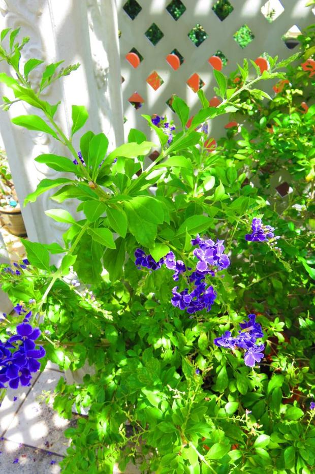 duranta - birds and bees love it