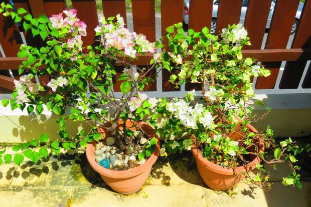Bougainvillea survive but don;t thrive with all the rain