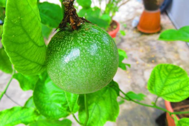 however, there are still a few passion fruit growing, and some new flowers, too